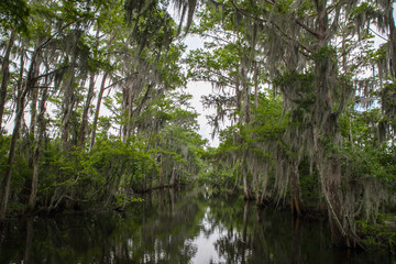 New Orleans Bayou Swamp Alligator Spanish Moss