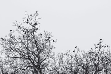 a flock of crows on trees foggy frosty early morning