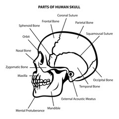 SKULL ANATOMY OUTLINE VECTOR