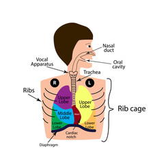 The structure of the respiratory system. The the right and left lung. The upper, middle lower lobe. Infographics. Vector illustration on isolated background