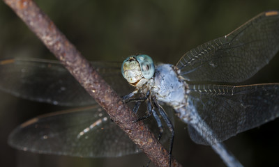 big dragonfly in a native habitat