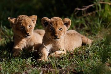Wall Mural - Baby Lions in Masai Mara