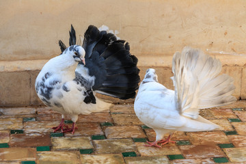 Courting of pigeons.