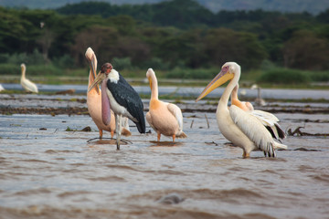 Pelicans and marabou on  Ethiopia