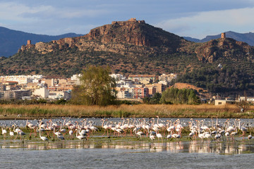 Flamingos in Almenara,  Spain