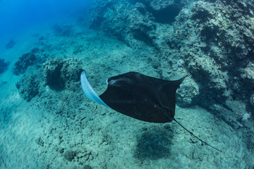 Black mantaray in blue water of Pacific ocean underwater world with reef corals discovered