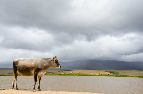 Lonely cow under overcast gray sky. Behind the cattle is a lake with brown water and sheep on the other side. A pasture extends to a mountain ridge that disappears in the clouds.
