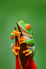 Exotic animal from central America, red flower. Red-eyed Tree Frog, Agalychnis callidryas, animal with big red eyes, in the nature habitat, Panama. Frog in the nature. Beautiful frog in forest.