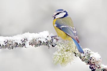 Fototapeta premium Śnieżna zima z ślicznym ptakiem. Ptak Modraszka w lesie, płatku śniegu i ładnej gałęzi porostów. Pierwszy śnieg ze zwierzęciem. Opady śniegu pasują do pięknego małego żółtego i niebieskiego ptaka. Scena dzikiej przyrody z śnieżnej przyrody.
