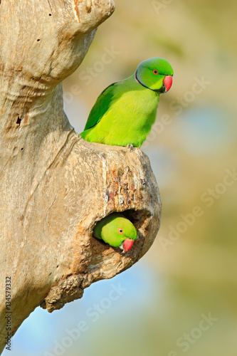 Two bird in nest hole  Nesting Rose-ringed Parakeet, Psittacula