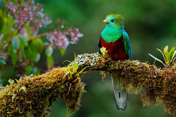 Printed roller blinds Bird Beautiful bird in nature tropic habitat. Resplendent Quetzal, Pharomachrus mocinno, Savegre in Costa Rica, with green forest background. Magnificent sacred green and red bird. Birdwatching in jungle.