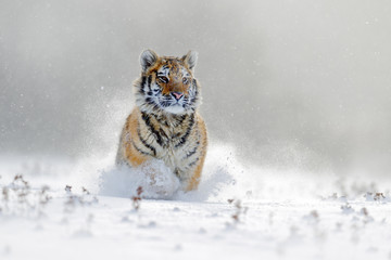 Amur tiger running in the snow. Tiger in wild winter nature. Action wildlife scene with danger animal. Cold winter in tajga, Russia. Snowflake with beautiful background. Siberian tiger in snow fall.