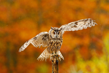 Fototapete - Fall orange forest with wild owl. Cute bird in the nature. Owl with open wings. Owl in orange autumn leaves forest. Long-eared Owl with orange oak leaves during autumn. Bird in the nature habitat.