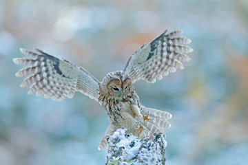 Fly winter scene with owl. Flying owl in the snow forest. Owl in fly. Action scene with owl. Flying Eurasian Tawny Owl, Strix aluco, with nice snowy blurred forest in background. Rare owl from Sweden