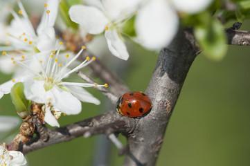 Marienkäfer mit Kirschblüte