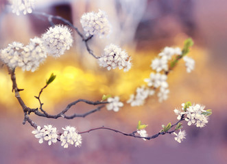 Branch cherry flowering in spring outdoors with soft focus gold blurred beautiful bokeh close-up macro. Spring template floral background wallpaper. Gentle romantic delicate artistic image.
