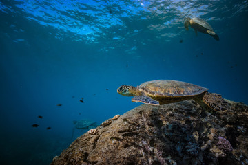 Fototapete - Sea life at Pacifi ocean. Underwater world discowered with three big turtles at clean station