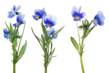 blauwe viooltje bloemen collectie geïsoleerd op wit