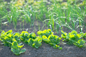 Young spinach in a sunny vegetable garden with scallions in the background. With copy-space.v