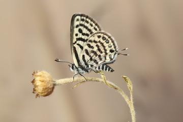 Little tiger blue Tarucus balkanicus butterfly