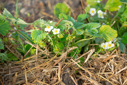 Close up of young strawberry plants with  strawberry flowers on a sunny vegetable garden patch with straw