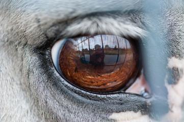 Pferdeauge mit Spiegelung