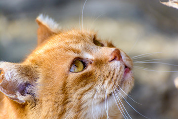Color head-shot animal outdoor portrait of a lovely golden brown and white cute sweet single isolated cat with eyes wide open