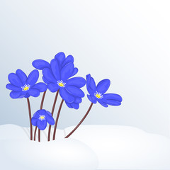 Beautiful spring background with Hepatica Nobilis in snow for congratulations with spring or Womens Day. Holiday poster or placard template in cartoon style. Vector illustration. Flower Collection.