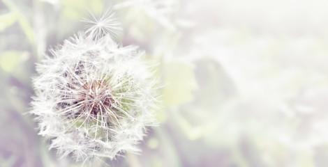 Poster Paardenbloem Dandelion close up on natural background. Dandelion flower on summer meadow