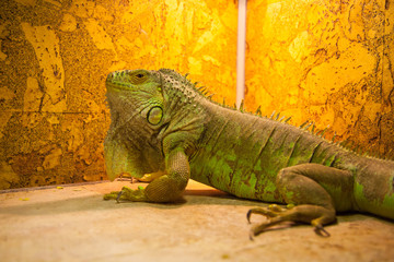 Portrait close up of iguana. Reptile on orage background