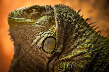 Portrait close up of iguana. Reptile on orage background