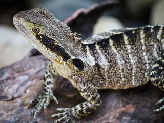 An Australian water dragon is a lizard native to Australia.