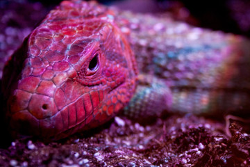 A broad-headed skink in red lighting brings out the red color of its head.