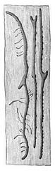 Tomicus proximus, vintage engraving.