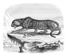 The black panther, a menagerie of the Museum of Natural History,
