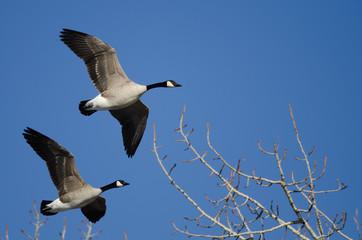 Canada Geese Flying Low Over the Winter Trees