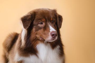 Dog breed Australian Shepherd, Aussie, portrait in the studio