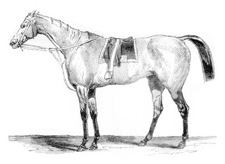Thoroughbred racehorse, vintage engraving.