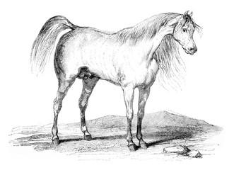 Arab horse, vintage engraving.