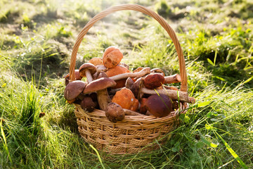 Fresh boletus mushrooms in the basket on green grass