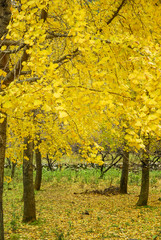 The ginkgo trees scenery in autumn