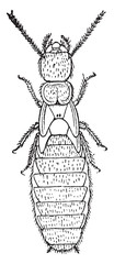 Nymph of the second form, Termites lucifugus of after c. Lespes,