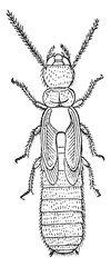 Nymph, Termites lucifugus of after c. Lespes, vintage engraving.