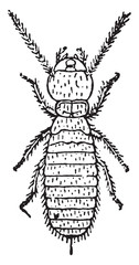 Larva, Termites lucifugus of after c. Lespes, vintage engraving.