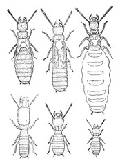 Termites lucifugus of after c. Lespes, vintage engraving.