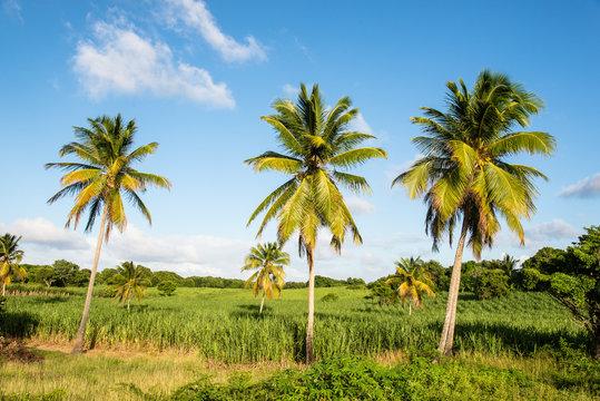 palm trees and sugar cane plantations