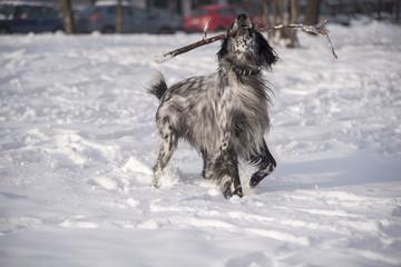 Cute dog, an english setter, catch a stick, running in the snow, enjoying winter