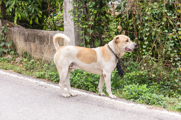 Thai stray dog on road