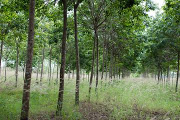 Rubber plantation which has grass, Hevea garden in Thailand.