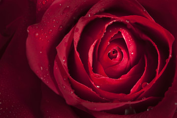 Closeup of single red rose